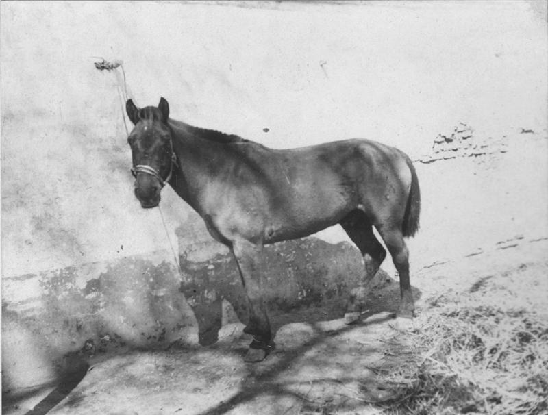 一匹名叫Hottentot的赛马